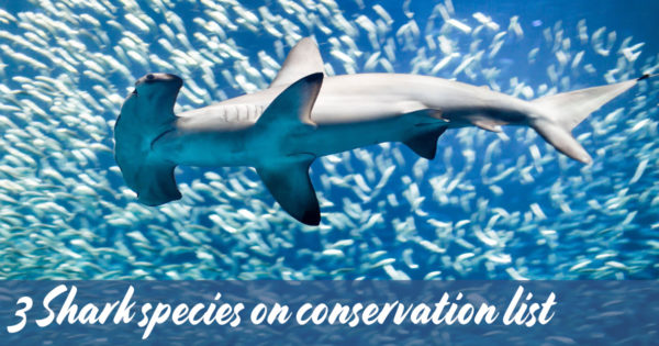 3-Shark-species-on-conservation-list